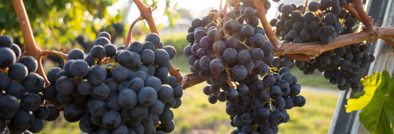 piquette vin naturel